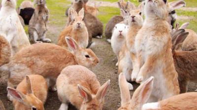 """Góc đáng yêu: Hòn đảo thỏ nhiều hơn người ở Nhật Bản, nhìn thôi cũng đã muốn """"chết chìm"""" vì sự cute"""