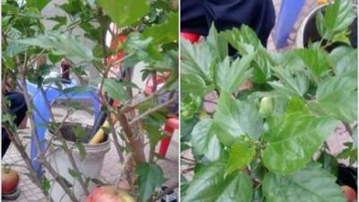 Cú lừa ngoạn mục ngày cận Tết: Mua chậu táo lùn về bày, ngờ đâu cây lại nở ra hoa dâm bụt