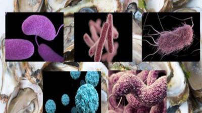 Mầm bệnh ở hàu sống trong mùa hè sẽ sinh sản mạnh mẽ có thể tấn công người ăn
